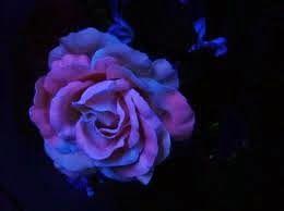 Miscelânea de emoções: Gardênia azul
