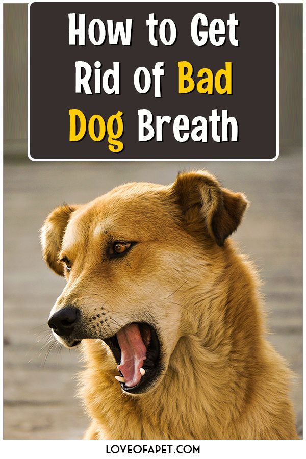 How to Get Rid of Bad Dog Breath: Treatments and Prevention - Love Of A Pet