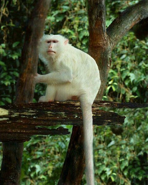 Macaco.