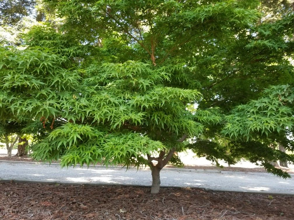 Sharps Pygmy Japanese Maple At Quality Maples N More Japanese