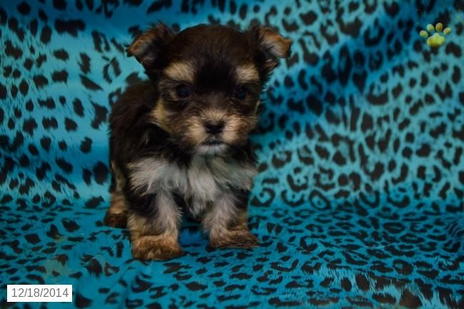 Morkie Puppy for Sale in Ohio Dog Pinterest Puppies