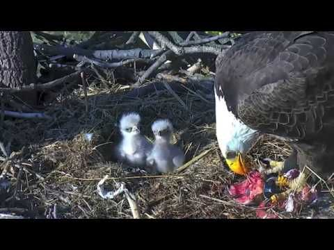 AEF - DC EAGLE CAM 🐣🐣 HILARIOUS!!! TINY EAGLETS FIGHTING