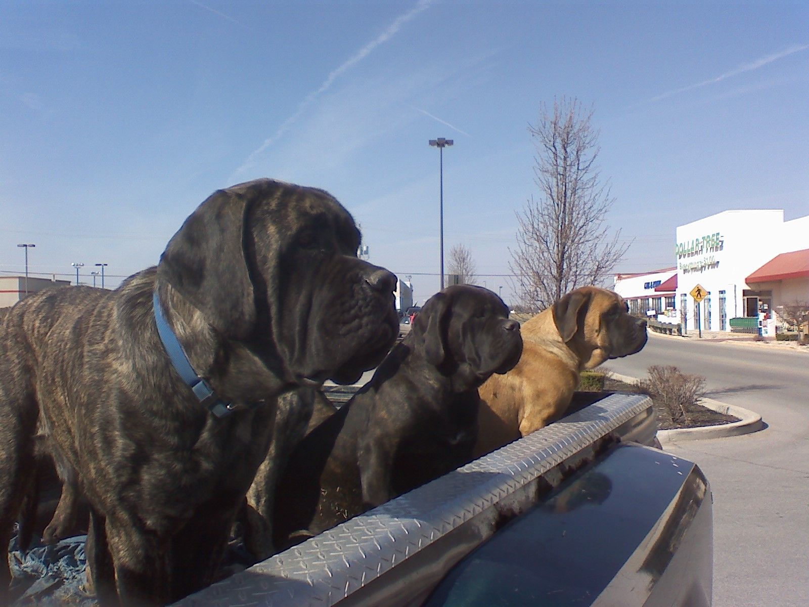 #english #mastiff #guard #dogs