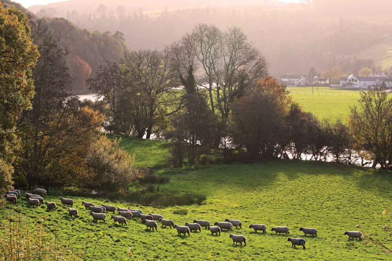 sheep grazing near the River Nore at Inistioge, Co. Kilkenny