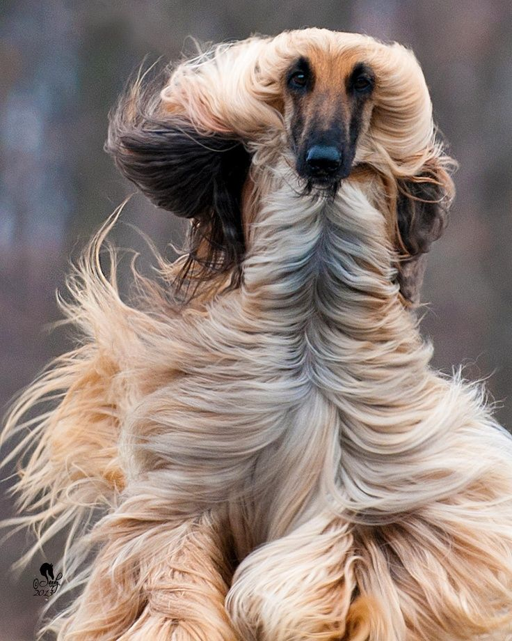 This Afghan Hound S Hair Looks Magnificent As He Runs Afghan