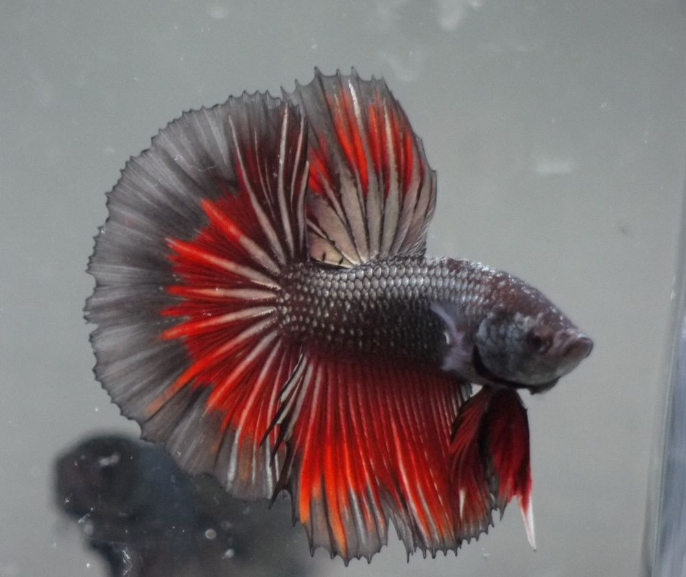 live Tropical Fish-Black red gold copper halfmoon betta F14 | The ...