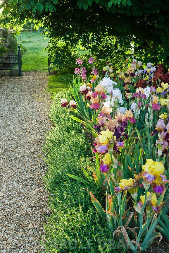Bed Of Mixed Bearded Irises Beside Gravel Path Leading To Adjoining Field Old Iris Flowers Garden Iris Garden Garden Landscape Design