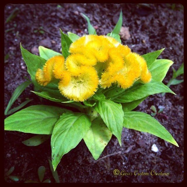 Our yellow Celosia... So pretty!