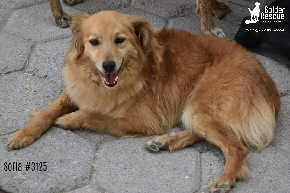 3125 Sofia Adoptable Goldens Lap Dogs South Of The Border