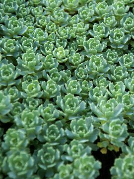 Sedum Platycladus | Stonecrop | Sedum Platycladus is a creeping stonecrop with succulent aqua green whorls of foliage. Rosettes resemble hens and chicks. This charming groundcover blooms in mid-summer with pale yellow flowers. Great for a rock garden, along walkways or paths, or on small embankments.