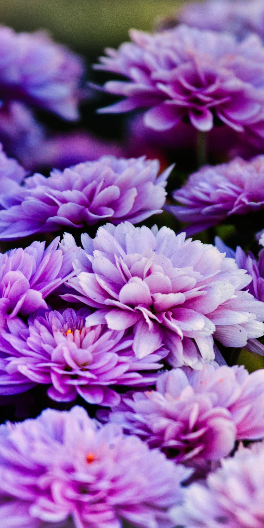 Asters Bright Blue Flowers Blossom 1080x2160 Wallpaper Beautiful Flowers Flowers Photography Flowers