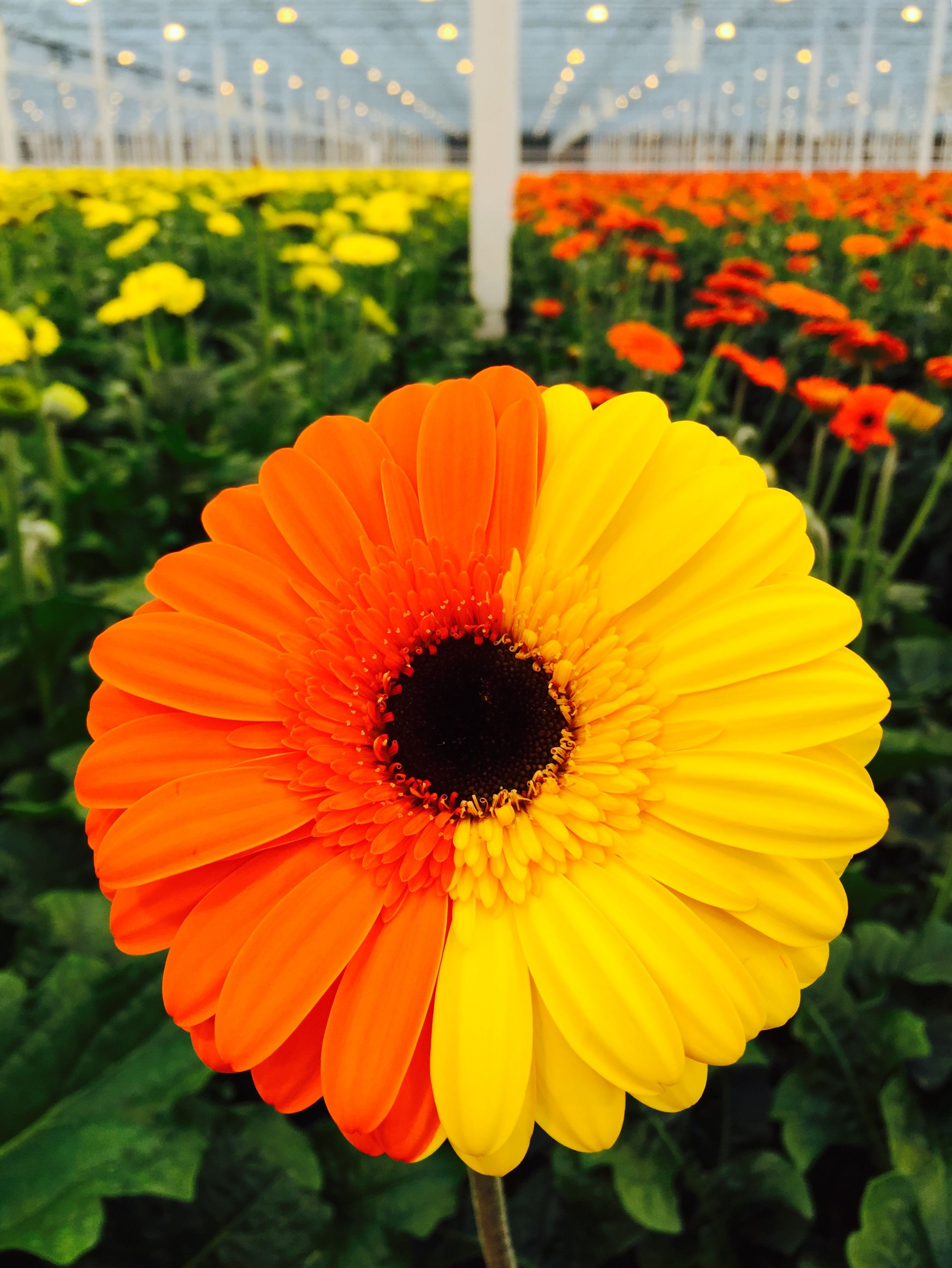 Home Gerbera Daisy Mother Nature Gerbera
