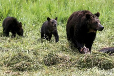 A grizzly bear and her two cubs approach the carcass of a