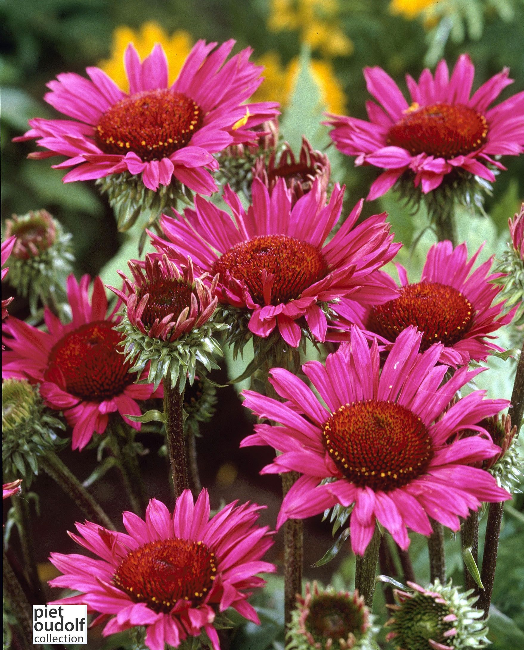 Echinacea Purpurea Vintage Wine Tuin Ideeen Tuinieren Planten