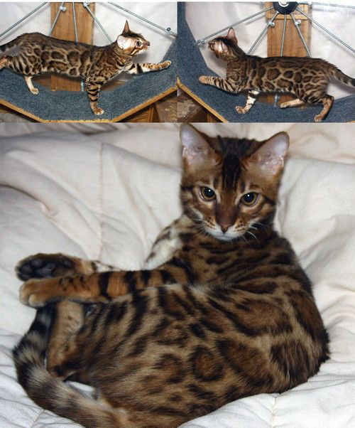 Bengal Cat Bengal Cat Bengal Kittens For Sale Bengal Kitten