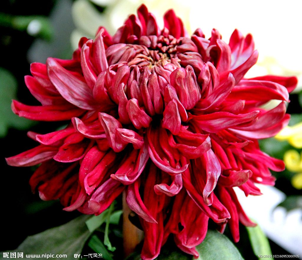 Chrysanthemum Chrysanthemum, Pansies flowers, Flowers