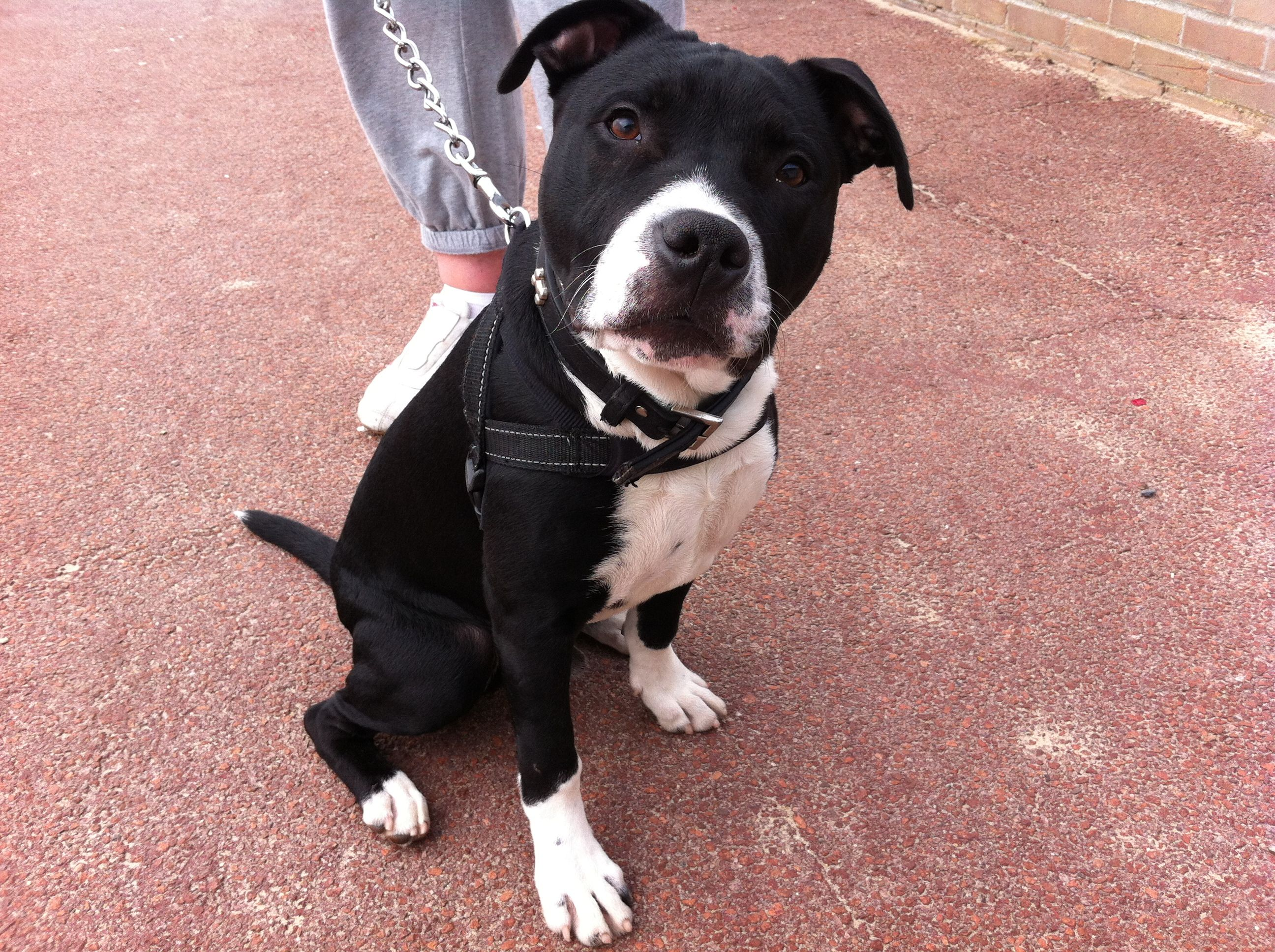 Pappy A 6 Month Old Staffy Cross With Images Dog Friends