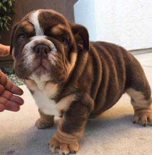 Akc English Bulldog Puppies Chocolate Tri Carriers I Have Two