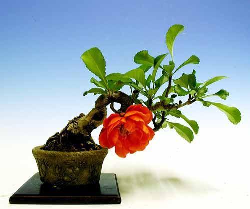 Algumas belas obras de mini-bonsai