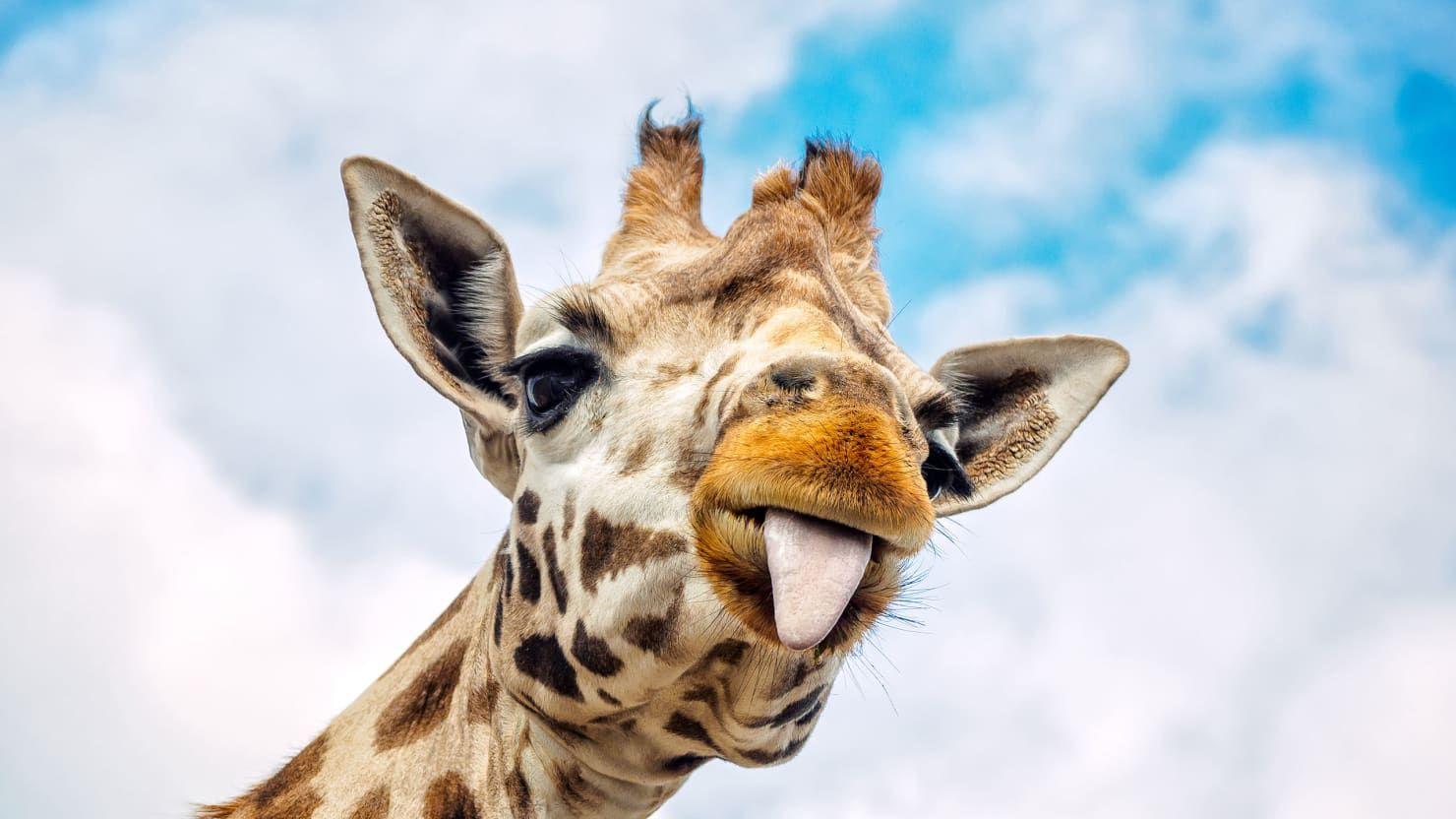 Giraffe Giraffe, Animals, Giraffe pictures