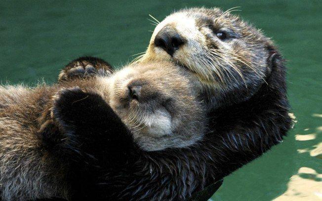 Dificuldade No Desenvolvimento De Lontras Marinhas Confunde