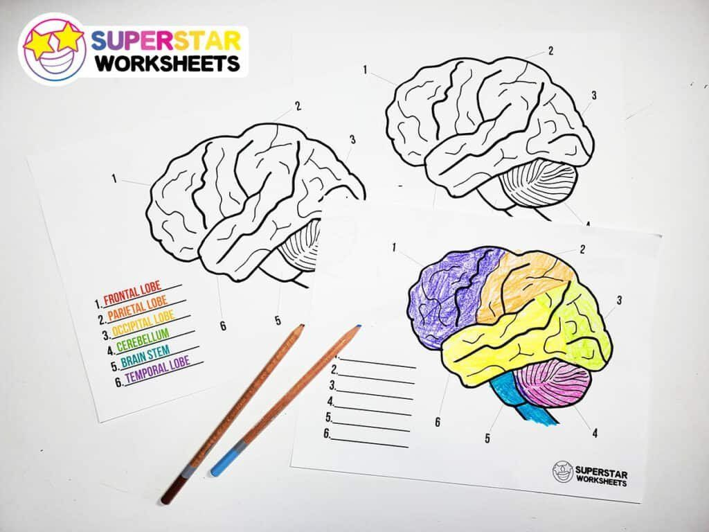 Labeling The Brain Worksheet Human Brain Worksheets