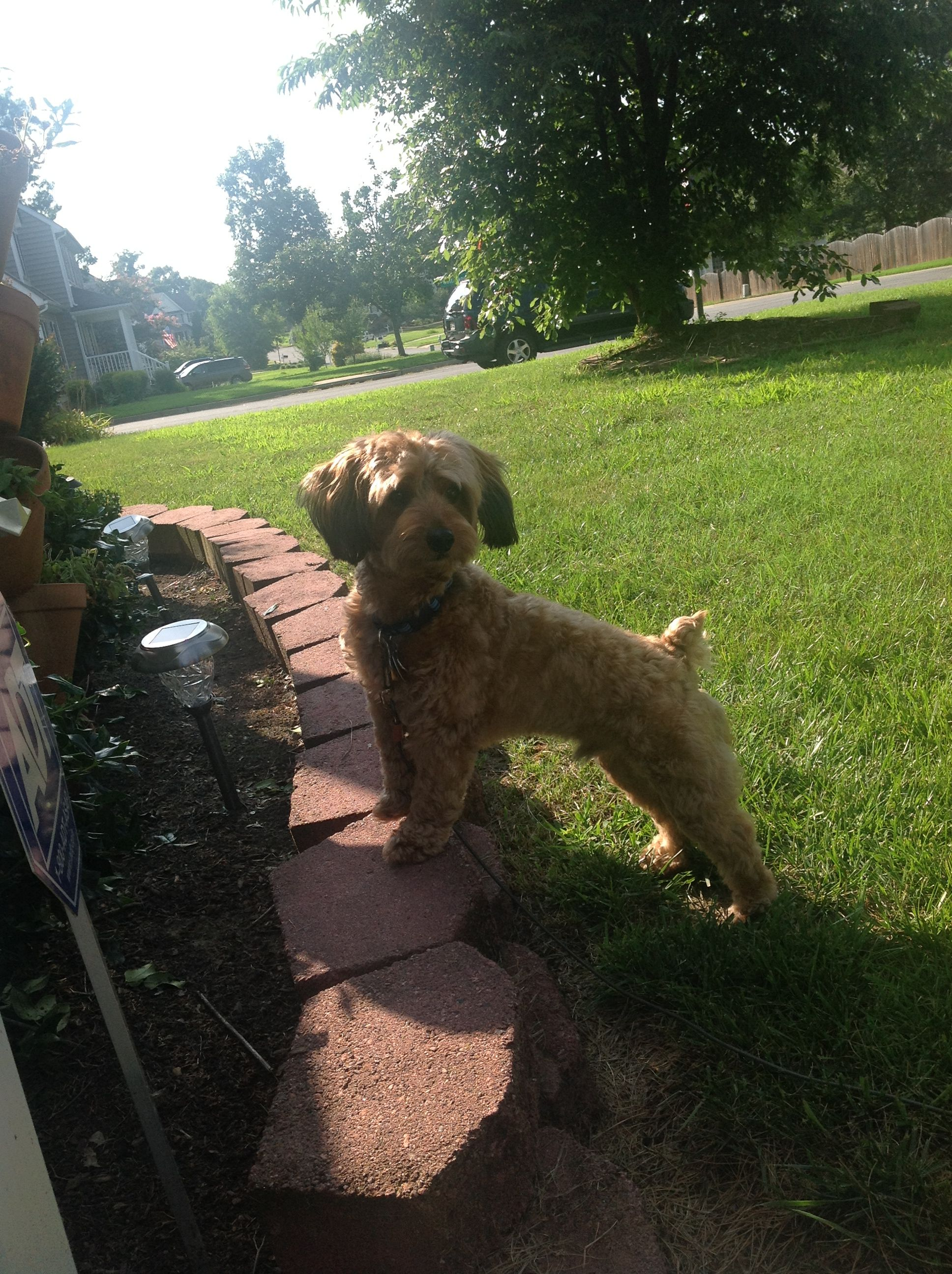 Parti yorkie puppies for sale indiana