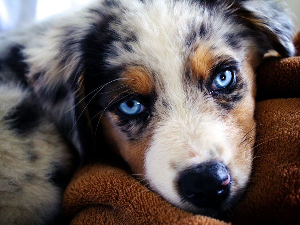 australian shepherd aussie dog puppy view HD wallpaper
