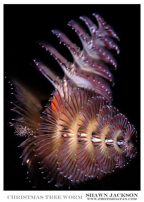 Jackson Photography Christmas Tree Worm Underwater Photographer Beautiful Ocean Sea Creatures