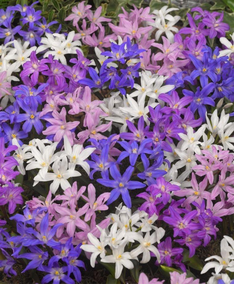The Glorious Chionodoxa Luciliae Mixture - Chionodoxa - Flower Bulbs Index
