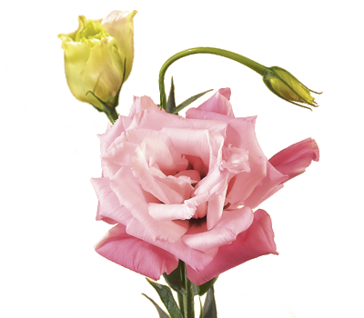 Lisianthus Flower Meaning Symbolism Flower Meanings Lisianthus All Flowers Images