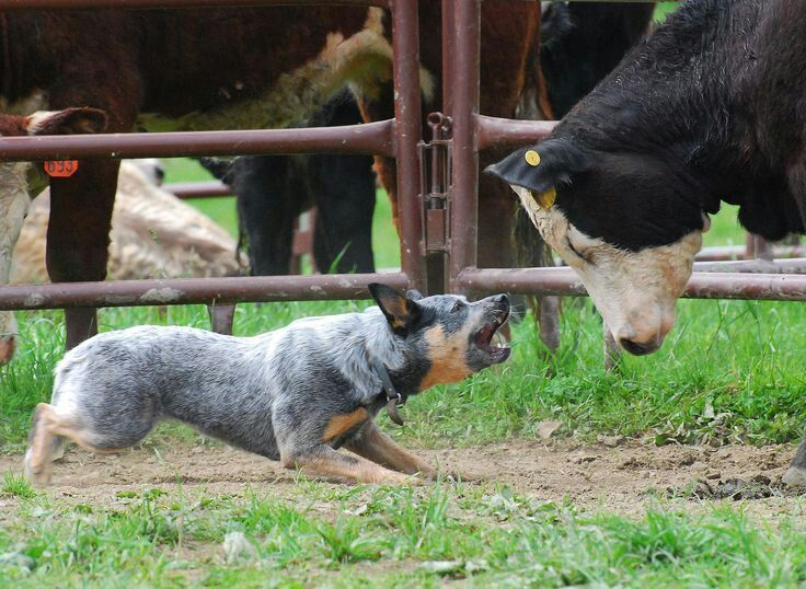 how to train a dog to herd cattle