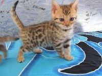 Bengal Chat Chaton Annonces Chats Et Chatons A Donner Ou Adopter Chaton A Donner Chats Et Chatons Chaton Bengal