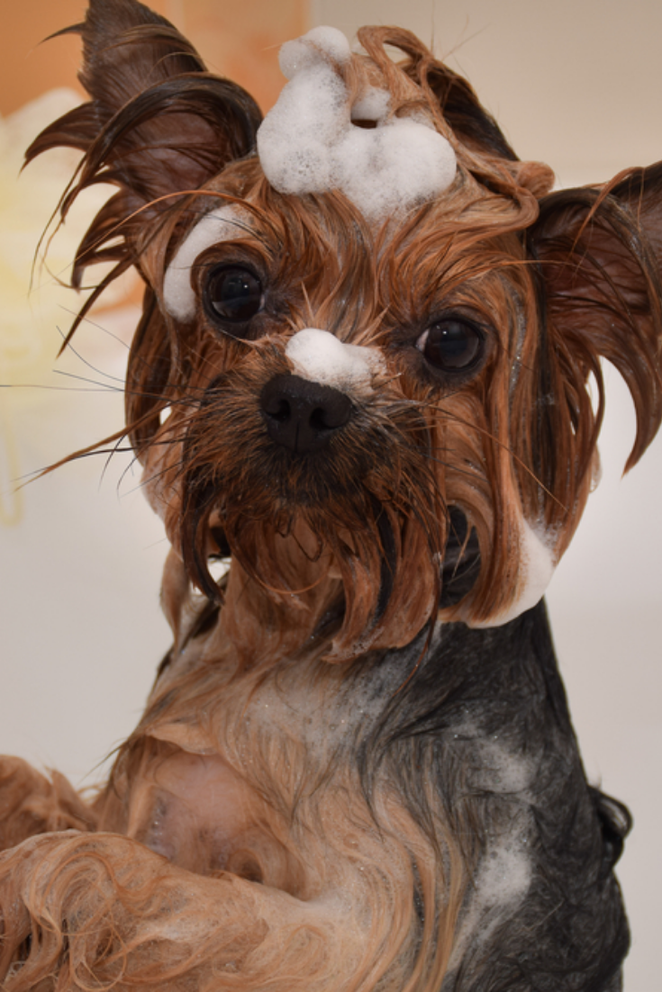 Portrait Of A Wet Dog Yorkshire Terrier In The Bathroom Yorkshireterrier In 2020 Yorkshire Terrier Puppies Yorkshire Terrier Terrier