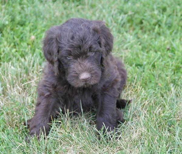 Petland Kansas City Has Poodle Newfoundland Puppies For Sale