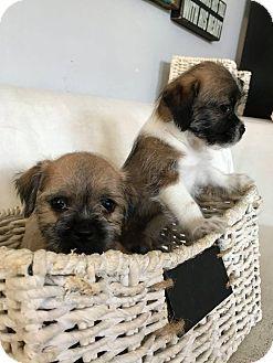 Inglewood Ca Shih Tzuborder Terrier Mix Meet Five Border