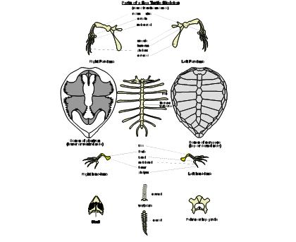Sea Turtle Skeleton Diagram Labelled Sea Turtles Pinterest
