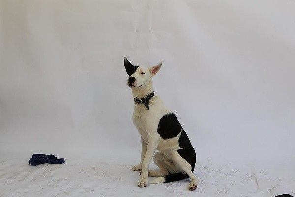 A Star Is Born Meet Dekota He Is Available From The Sydney Shelter Dogs Dog Pictures A Star Is Born