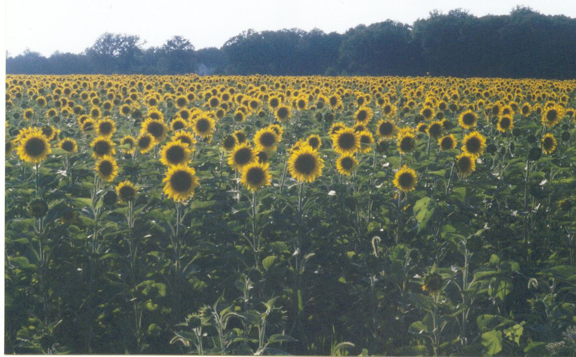 A Sunflower Field In Indiana So Lovely My Favorite Places