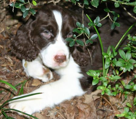 My New Puppy Only Her Name Will Be Georgia Springer Spaniel English Springer Spaniel English Springer