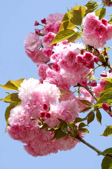 4 Best Flowering Cherry Trees To Grow In The South Flowering Cherry Tree Ornamental Cherry Pink Flowering Trees
