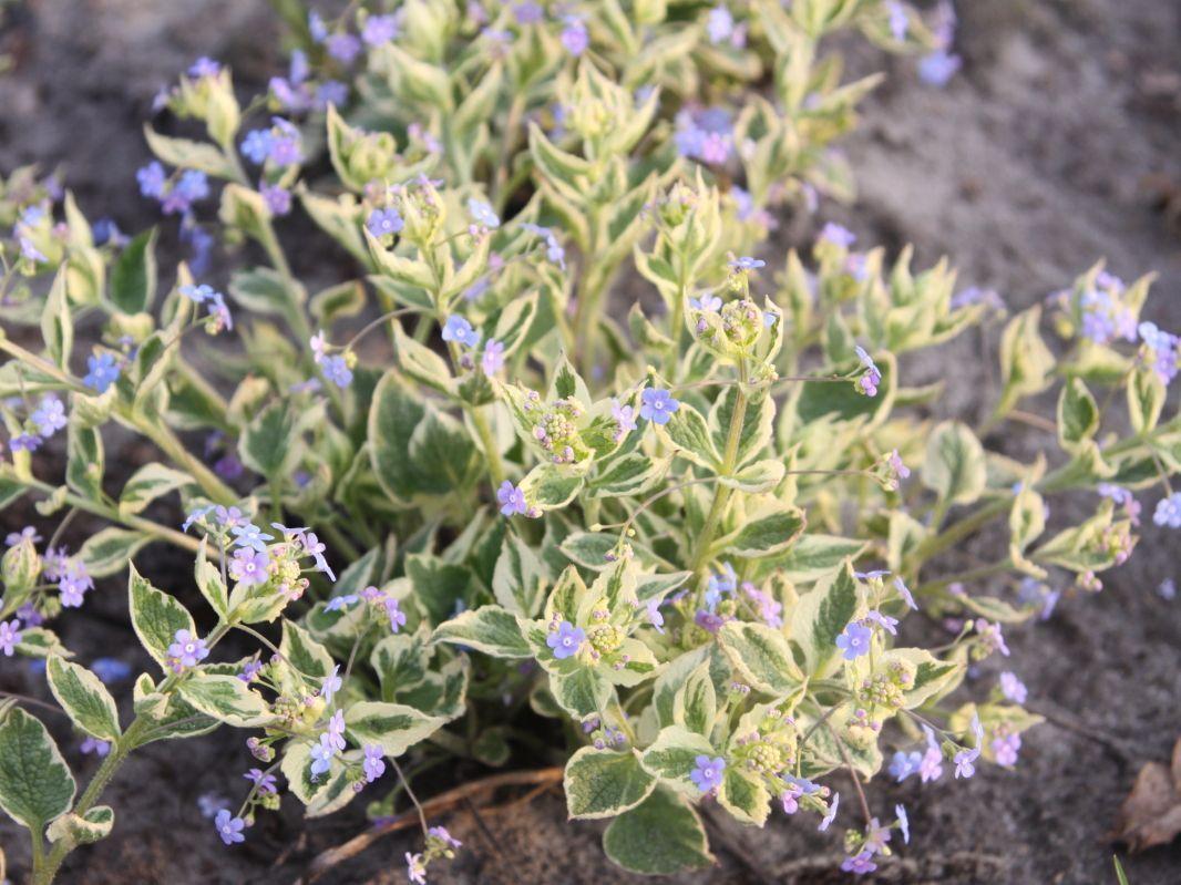 Kaukasusvergissmeinnicht Macrophylla Brunnera Hadspen Creamkaukasusvergissmeinnicht Hadspen Cream Brunnera Macrophylla Hadsp Macrophylla Plants Cream