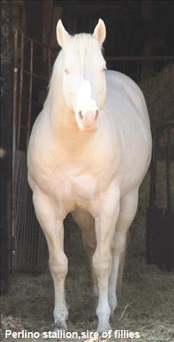 Quarter Horse Mare For Sale In Texas Quarter Horses Horses
