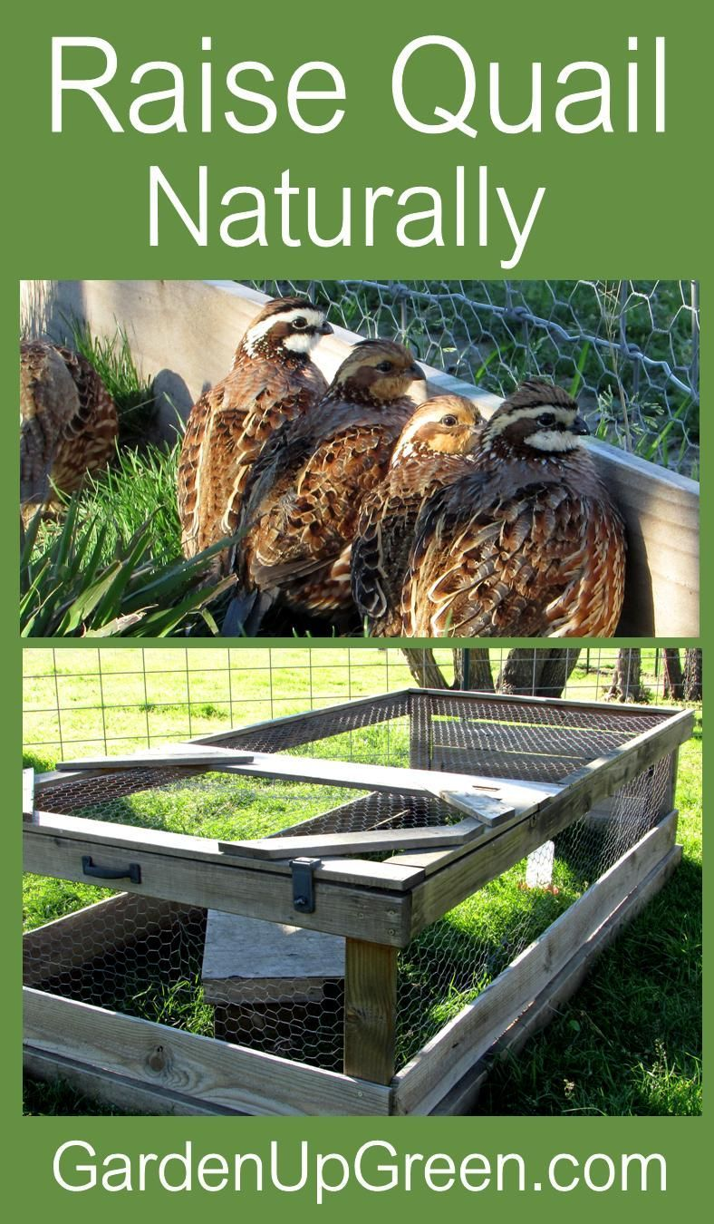 Thinking about raising quail in your backyard. Find out ...