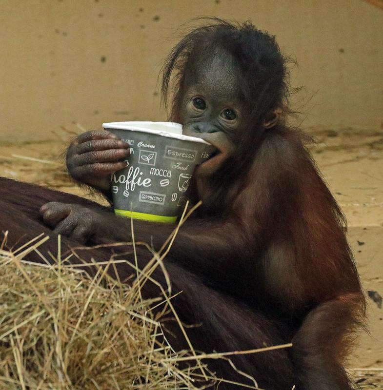 Orangutan Sabbar Ouwehands Bb2a9700 Orangutan Animals Gorilla