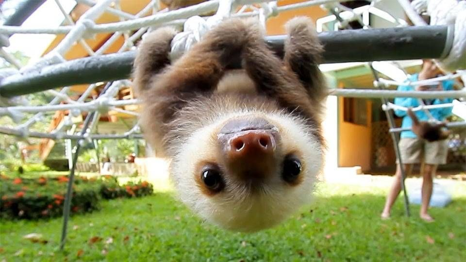 This baby sloth says hello - #animals #aww #cute #funny #lol #sloth #sloths #wholesome