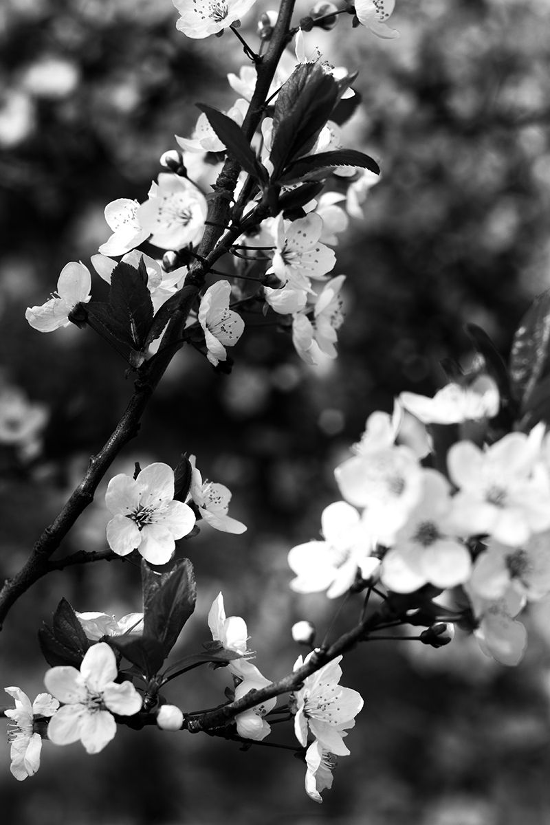 Black and White Photography (Schwarz-Weiß-Fotografie) - Flowers ...