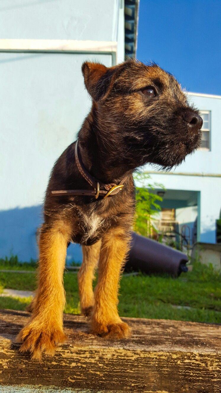 Ferguson The Red Grizzle Border Terrier Border Terrier Terrier