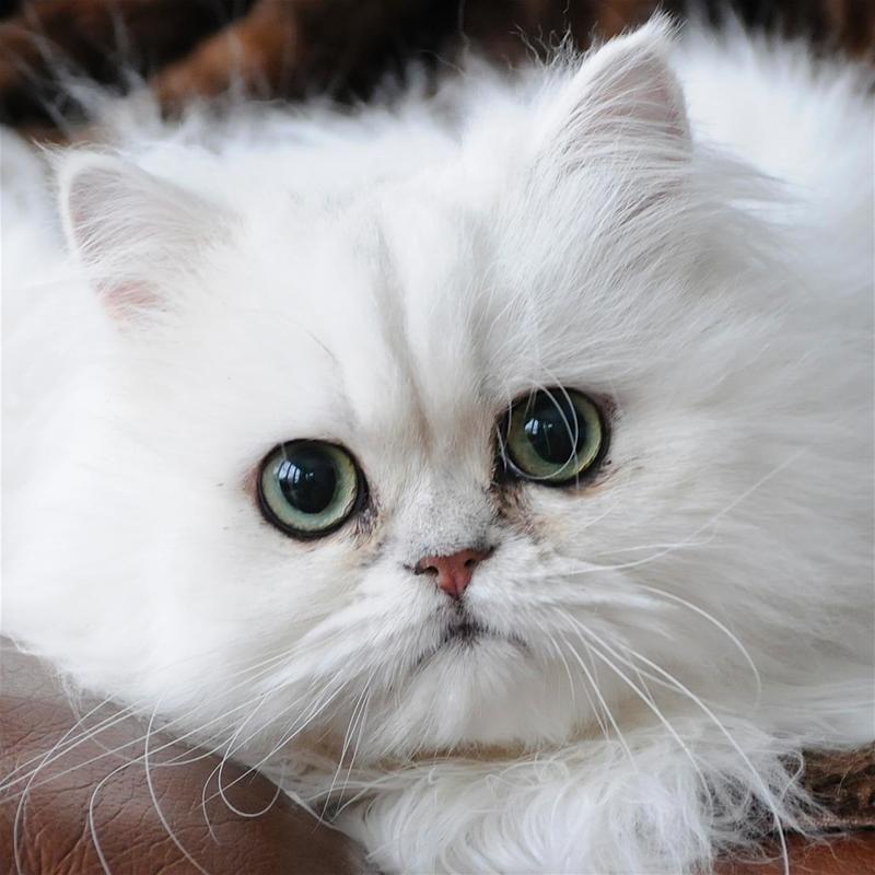 Adopt Prince Monaco on Persian kittens, Cats, Pretty cats