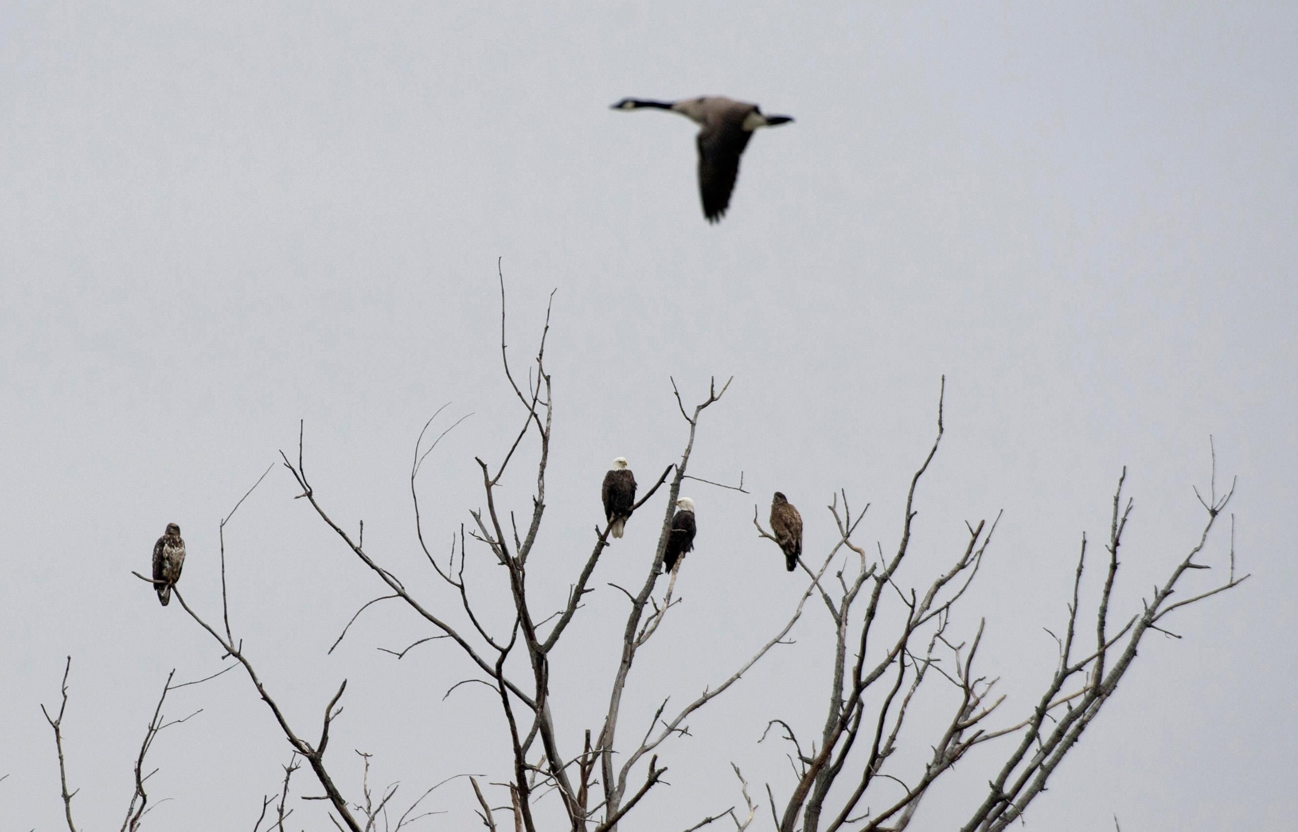 Eagles Sitting In Tree Along Illinois River In Peoria As Canada Goose Cruises By Illinois River Eagles Photo